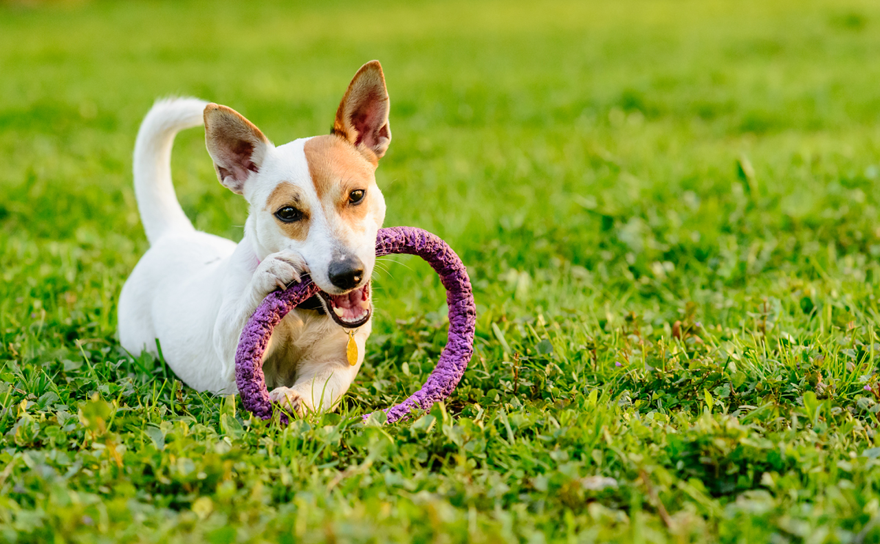 Adorable dog chewing toy lying down on green grass